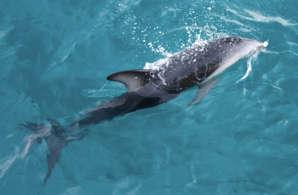 Delfin_schwimmt_-_zoom.jpg