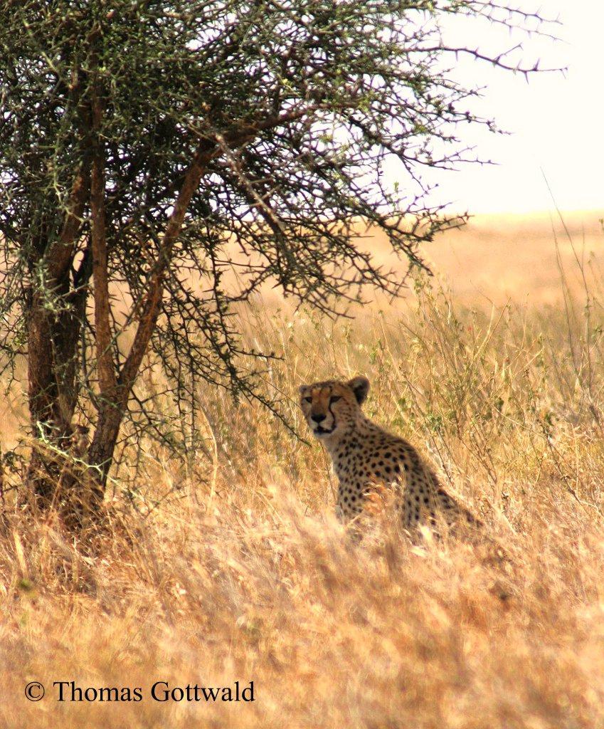 Gepard_2.jpg