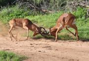 Impaula (Impala) - männlich