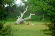 Ruhender Tiger (Safari-Park, Frankreich)