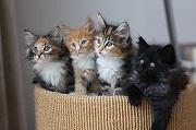 Rekombination Katze