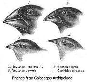 Darwinfinken